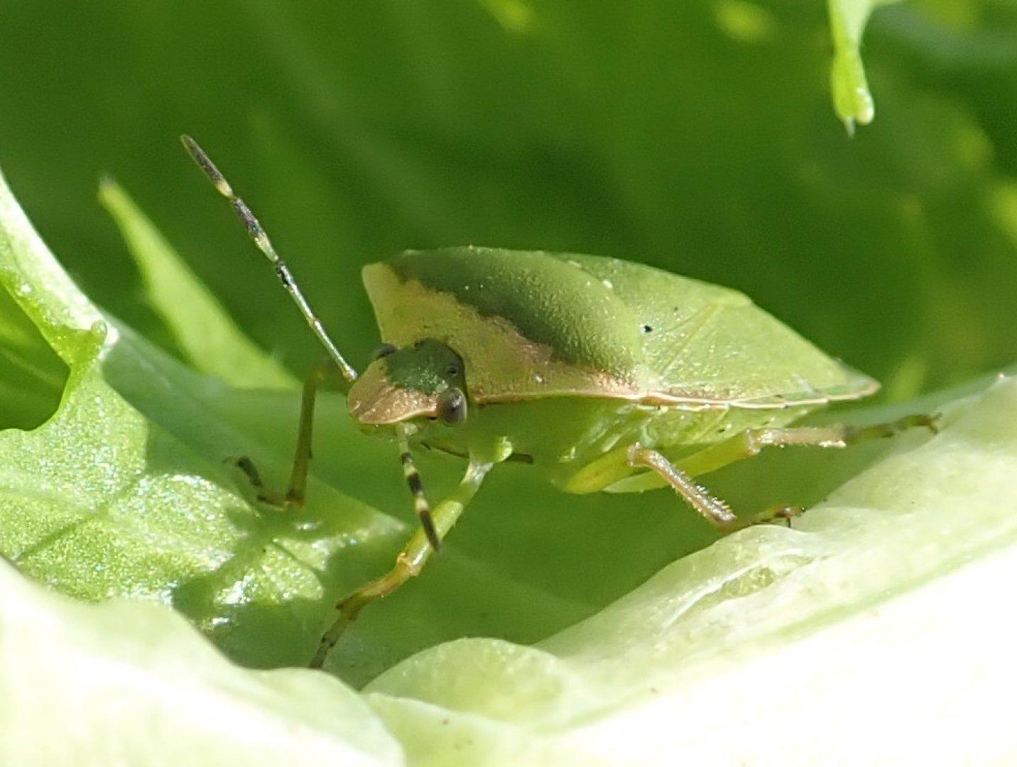 Green Bug on Brassica Leaf