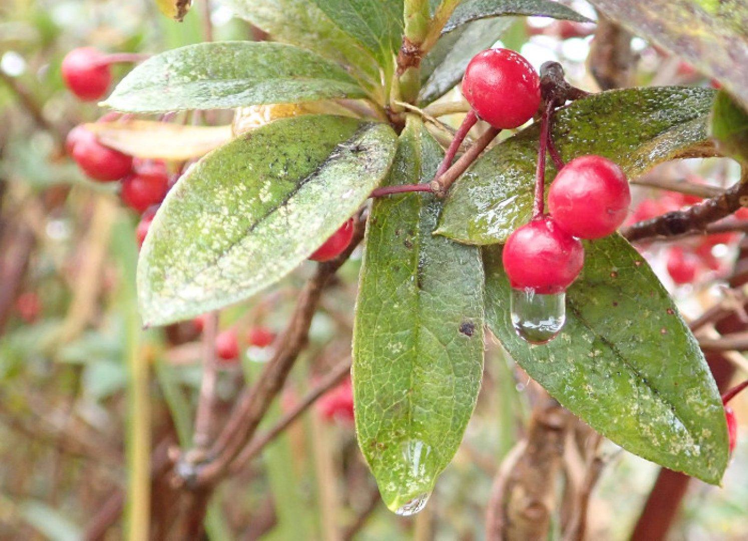 Rain on Berries 1