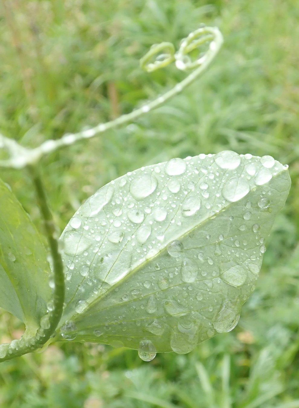 Rain Drops on Bean Leaf with Tendril