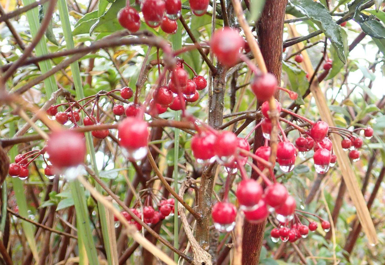 Rain on Berries 2