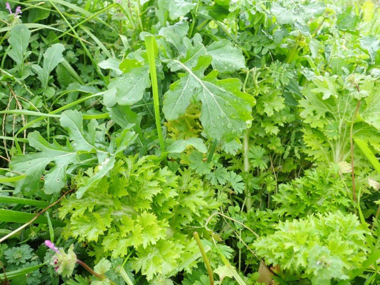 Ruccola and Curly Leaf Mustard